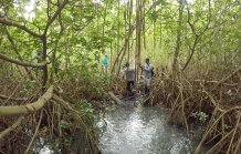 Mangroves with dense roots trap mud more effectively. Credit - Barend van Maanen